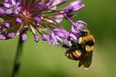 stock photo of honey-bee  - picture is taken of a honey bee collecting nectar from a purple flower during early spring - JPG