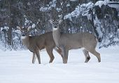 Two Whitetail Bucks