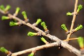 branch of larch with blooming buds in spring