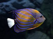 striped angelfish underwater - pomacanthus annularis