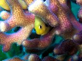 Yellow fish Hiding in Coral