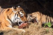tigers eating