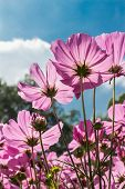 Cosmos flowers in blooming with sunset( Cosmos lipin-natas Cav.)