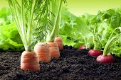 stock photo of nutrients  - Many fresh organic vegetables growing in the garden closeup - JPG