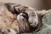 stock photo of comfort  - Cute sleeping gray domestic cat closeup portrait - JPG