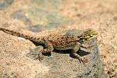 agama on the rock