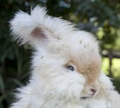 Head shot of white Angora rabbit