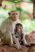 stock photo of baby-monkey  - monkey mother feeding her child - JPG