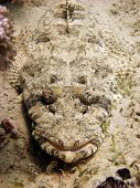 Camouflaged crocodilefish