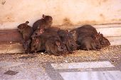 stock photo of rats  - rats running around Karni Mata Temple in India - JPG