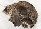 Cats Babies Drink At Her Mother