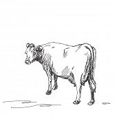 Sketch of milk cow Vector