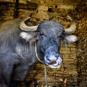 Nepalese buffalo licking its own nose