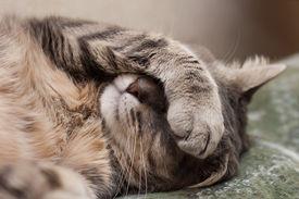 picture of cute animal face  - Cute sleeping gray domestic cat closeup portrait - JPG