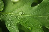 Young Oak Leaf With Rain Drops