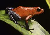 strawberry poison arrow frog Costa Rica tropical rain forest a macro of a beautiful exotic amphibian pet animal is kept in a rainforest terrarium or vivarium, Dendrobates pumilio Guapiles (blue jeans)