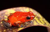 red frog from Costa Rica poison arrow frog Oophaga pumilio