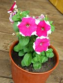 Flower Petunia In Pot
