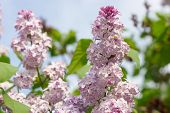 Branch Of Blooming Lilacs On A Clear Day In The Sunshine