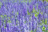 Blooming Field Of Lavender (lavandula Angustifolia) Around