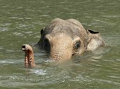 Asiatic Elephant (elephas Maximus)