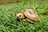 Box Turtle On Grass