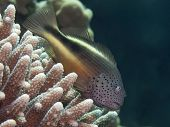 stock photo of hawkfish  - Coral Blackside hawkfish in red sea - JPG