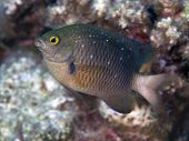 picture of damselfish  - Jewel damselfish in Red sea Egypt Hurghada - JPG