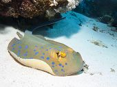 foto of stingray  - Bluespotted stingray in Red sea Egypt Hurghada - JPG