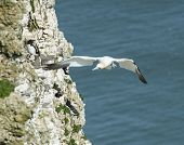 stock photo of gannet  - Wild Northern Gannet morus bassanus seabird in flight off english coastline - JPG