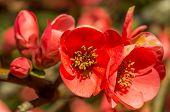 closeup photo of chaenomeles flowers