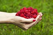 a handful of ripe raspberries on a background of summer green