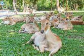 Burmese Brow-antlered Deer