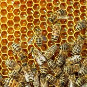 Close up view of the working bee on honey cells.