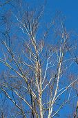 White Birches On Blue Sky Background. Early Spring.