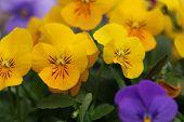 Pansy,Pansy Violets flower