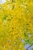 stock photo of vishu  - Golden Shower Tree Yellow flowers in the tropics Thailand