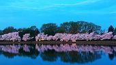 Cherry trees in blossom around Tidal Basin Washington DC