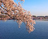 Cherry blossom at dawn around Tidal Basin Washington DC