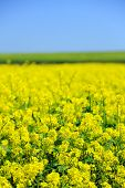 picture of rape-seed  - Beautiful rape in the field - JPG