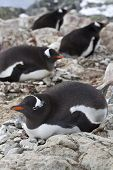 Gentoo Penguin Females Sitting On Nests In Colonies
