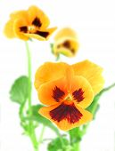 Orange-violet Pansy Flower