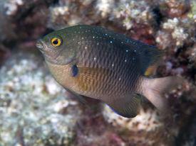 picture of damselfish  - Jewel damselfish in Red sea Egypt Hurghada - JPG