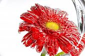 Red Flower Of A Gerbera On A White Background