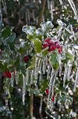 Closeup of holly berries covered  with ice on holly shrub