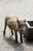The Small Wild Boar Baby Standing On The Sand
