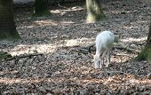 White Red Deer Searching For The Food In The Forest