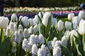 White Flowers, Keukenhof, The Netherlands