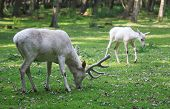 foto of deer family  - White red deers eating the grass in the forest - JPG