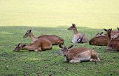 Roe Deer Group Laying In The Shadow